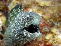 黑色鳗鱼被察觉的白色 免版税库存图片