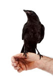 黑色鸟坐现有量 图库摄影