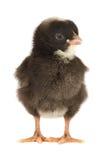 黑色鸡一点 免版税库存图片