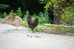黑色鸡 免版税库存图片