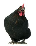 黑色鸡 库存照片