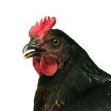 黑色鸡 图库摄影