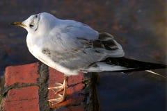 黑色鸥朝向少年larus ridibundus 免版税库存照片