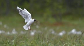 黑色鸥朝向 在飞行中鸥属ridibundus 免版税图库摄影