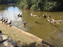黑色鼓起的吹哨的鸭子 免版税图库摄影