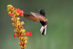黑色鼓起的蜂鸟 库存照片