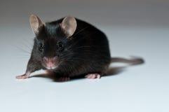 黑色鼠标 免版税库存照片