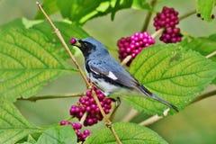 黑色-红喉刺莺的蓝色鸣鸟 免版税图库摄影