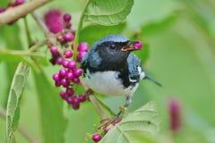 黑色-红喉刺莺的蓝色鸣鸟 免版税库存图片