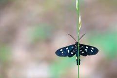 黑色蝴蝶察觉了 库存照片