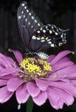 黑色蝴蝶swallowtail 免版税库存图片
