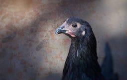 黑色Australorp母鸡 库存图片