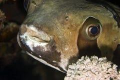 黑色blotched diodon liturosus刺顿鱼 免版税库存图片