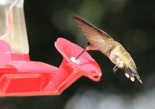黑色chinned提供的蜂鸟 图库摄影