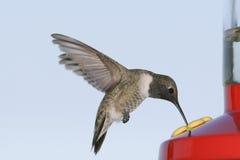 黑色chinned蜂鸟 免版税库存照片