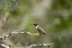 黑色chinned被栖息的蜂鸟 库存照片