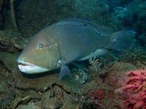 黑色choerodon schoenlein地点tuskfish 免版税库存图片