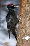 黑色dryocopus martius啄木鸟 库存图片