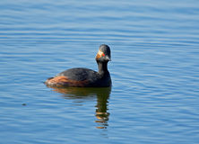 黑色grebe收缩的池塘 免版税库存图片
