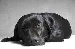 黑色labador休眠 库存照片