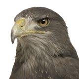 黑色melan肉食有胸腔的老鹰的geranoaetus 库存照片