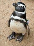黑色pinguin白色 免版税库存图片