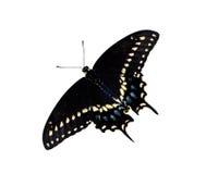 黑色Swallowtail蝴蝶(Papilio polyxenes) 免版税库存照片