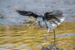 """黑苍鹭使用称它使用它的象伞的翼的机盖feedingâ€的一个寻找的方法"""",创造吸引鱼的树荫 免版税库存照片"""