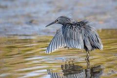 """黑苍鹭使用称它使用它的象伞的翼的机盖feedingâ€的一个寻找的方法"""",创造吸引鱼的树荫 免版税库存图片"""