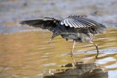 """黑苍鹭使用称它使用它的象伞的翼的机盖feedingâ€的一个寻找的方法"""",创造吸引鱼的树荫 图库摄影"""