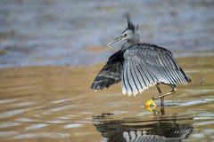 """黑苍鹭使用称它使用它的象伞的翼的机盖feedingâ€的一个寻找的方法"""",创造吸引鱼的树荫 库存照片"""