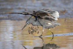 """黑苍鹭使用称它使用它的象伞的翼的机盖feedingâ€的一个寻找的方法"""",创造吸引鱼的树荫 库存图片"""