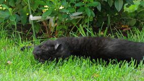 黑苏格兰人折叠猫 影视素材