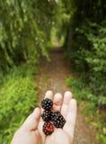 黑莓一个美丽的成熟莓果,在您的手棕榈,以绿色树为背景在荷兰城市  免版税图库摄影