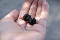 黑莓两个莓果在棕榈的 免版税库存图片