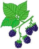 黑莓分行 免版税库存图片