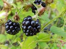 黑莓在我的庭院里 库存照片