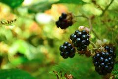 黑莓在晴朗的森林里 库存图片