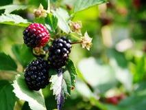 黑莓成熟阶段 免版税库存图片