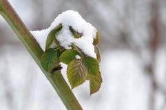 黑莓果冷淡的叶子  免版税库存图片