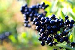 黑莓果 免版税库存图片