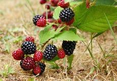 黑莓灌木 免版税库存图片