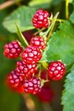 黑莓结束成熟  库存照片
