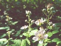 黑莓花关闭  免版税库存照片