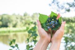 黑莓花束在词根的在叶子在妇女的手上说谎 在河的背景 免版税库存照片