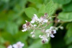 黑莓芽开花 库存图片