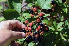 黑莓采摘 库存照片