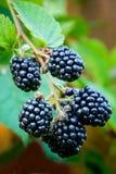 黑莓 图库摄影