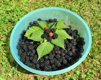 黑莓 库存图片
