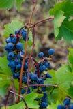 黑葡萄成熟和准备好收获 免版税库存图片